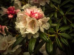 Rhododendron-7 (olipennell) Tags: blte botanischergarten mnchen nymphenburg pflanze rhododendron