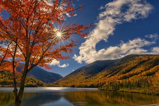 Shinning Maple