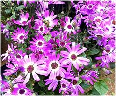 Cinerarias .. (** Janets Photos **) Tags: uk hull shops florists flowers flora plants cinerarias
