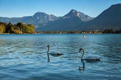 Mute Swans - Wolfgangsee (davee10101) Tags: 2016 austria bird lake muteswan wolfgangsee