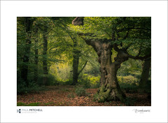 Pollarded beech (tobchasinglight) Tags: autumn2016 buckinghamshire bucks burnham burnhambeeches cityoflondon corporationoflondon englishwoodland farnhamcommon woodland paulmitchell pollard