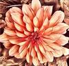 Digital autumn dahlia (AngelVibeDigital) Tags: digitaledit nikon dahlias blossom paintedflowers flower nature digitalart photography flowers digitaldahlia dahlia colorful brightcolors nikonp900 orange