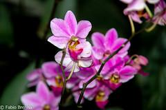 DSC_0004 (Fabio Brenna) Tags: flower flowers fiori fleurs flores colors orchid orchidea orchidee orchids orqudeas orchides