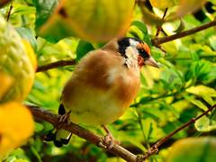 Autumn Gold! (macfudge1UK) Tags: nature 2016 avian bird britishbird britishbirds england fauna gb greatbritain oxfordshire oxon rspbgreenstatus uk wildlife bbcspringwatch autumn nikon coolpix coolpixp610 p610 nikoncoolpixp610 britain allrightsreserved cardueliscarduelis finch goldfinch leaf leaves perch perching