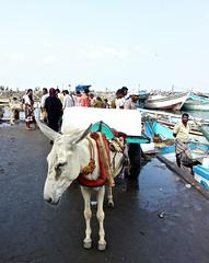 Fish Market, Hodeidah (EleanorGiul ~ http://thevelvetrocket.com/) Tags: yemen イエメン hodeidah iémen йемен justinames 也门 arabpeninsula locallifeinyemen httpthevelvetrocketcom เยเมน