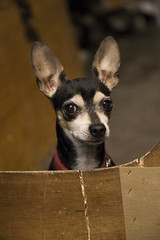 Wacko (Pedro Rodriguez Art) Tags: dog chihuahua eye shop work canon puppy lens office high amazing eyes dof coat guard security iso short doggy impressed wacko amazed 6d 24105 6400