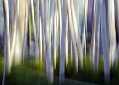 full moon blues ........... Explore 11/30/14 (LotusMoon Photography) Tags: camera blue trees light white abstract color art movement contemporary creative explore icm intentional intentionalcameramovement