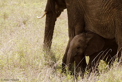 Young and Old (Aimzeee) Tags: africa elephant animal mammal kenya wildlife young mother calf protection mammalia tusks