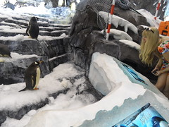 Penguins (Elysia in Wonderland) Tags: world sea vacation usa holiday cute ice birds america penguins lucy orlando ride florida september icy elysia 2014