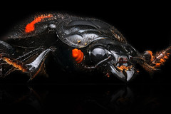 Burying Beetle (Macroscopic Solutions) Tags: fish macro ears squid scales micro bones geology mcb macropod biology microbiology uconn facebook genitalia chordata caco3 eeb macroscopicsolutions