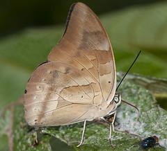 Archaeoprepona demophon, One-spotted Prepona, 2014 Oct 30, nr Apuya, Napo, Ecuador, JGlassberg - 4649 (jeffreyglassberg) Tags: butterfly ecuador tours sunstreak glassberg