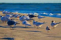 Feb 19, 2015 - morning sunrise, 08 (Ed Yourdon) Tags: ocean seagulls beach sunrise dawn sand surf florida sandpipers terns indialantic