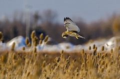 Short-eared Owl V (Miguel de la Bastide) Tags: wild ontario canada bird nature nikon wildlife sp owl di stcatharines tamron vc birdofprey usd shortearedowl shorteared f563 d7000 150600mm