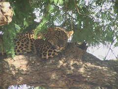 Sleeping Leopard in Tree