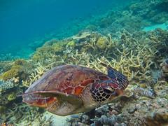Turtle_ocean (TravelingShapy) Tags: ocean sea underwater turtle dive picture diving bild schildkrte tauchen unterwasser ozean
