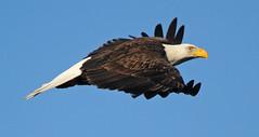 Bald Eagle - 247a1cdc (Sue Coastal Observer) Tags: bird nature bc baldeagle delta boundarybay birdofprey