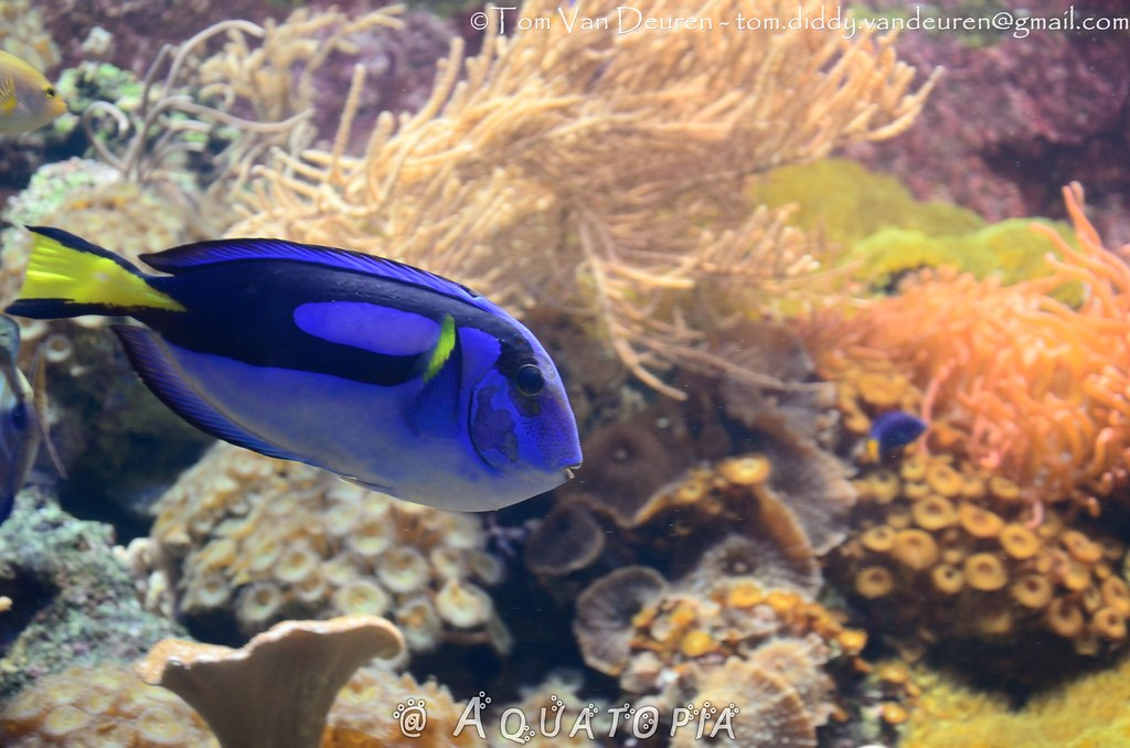 The world 39 s most recently posted photos of paracanthurus for Royal blue tang fish