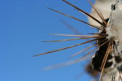 Saguaro Thorns (lars hammar) Tags: arizona cactus thorns saguaro marana saguarocactus