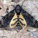 Acherontia styx styx (Westwood, 1847) Death's-head Hawk Moth