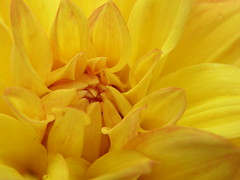 Dahlia (The Kopf System) Tags: dahlia flower macro olympus makro uz winsen dahlie sp550