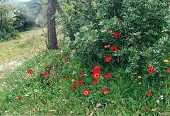 Anmones pavonina (luka116) Tags: fleur 2000 anemone grce peloponnese renonculaces anemonepavonina