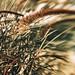 Desert grass with Lensbaby