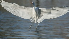 Sunset Park Pond_Henderson (JME_Photos) Tags: nature birds canon wildlife nevada henderson egret 400mm