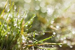 Water droplets on grass (Joshua Tree National Park) Tags: california water grass droplets nationalpark desert joshuatree dew mojave joshuatreenationalpark
