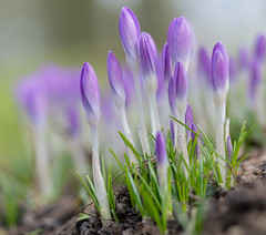 It feels like spring! (www.mroosfotografie.nl) Tags: netherlands happy spring great like crocus lila flowering feels bleiswijk