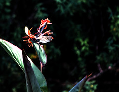 _MG_7666 (rojam1000) Tags: superb fairy variegated wren