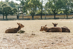 DSC03374 (svensin) Tags: japan sony deer nara a6000 1670mm variotessarte41670 1670za ilce6000