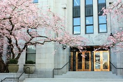 20150227_Accolade_CityHall_Bates16 (gerry.bates) Tags: pink flowers trees canada vancouver 1936 canon cherry spring flora exterior bc cityhall britishcolumbia blossoms artdeco 12thavenue cambiestreet prunus ornamentalcherry prunusaccolade accoladecherry townleymathesonarchitects