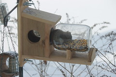 Red Squirrel at My New Squirrel Feeder (Saline, Michigan) - February 14, 2015 (cseeman) Tags: winter snow cold corn squirrel squirrels michigan wildlife birdfeeder feeder perch hungry feed saline redsquirrel squirrelfeeder redsquirrel02142015 salinesquirrels