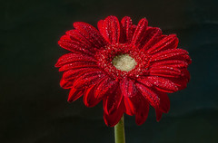 DSC_2336 (David W. Behrens) Tags: red flower macro closeup michigan dew chrysanthemum westmichigan extentiontubes