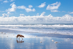 Beach Dog (YetAnotherLisa) Tags: california sky dog reflection clouds goldenretriever coast mutt waves foam fortfunston geach