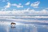 Beach Dog (YetAnotherLisa) Tags: california sky dog reflection clouds goldenretriever coast mutt waves foam fortfunston geach