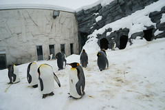 ALL ABOUT PENGUIN (Hsuanya Tsai) Tags: travel japan zeiss zoo hokkaido sony fullframe alpha za asahiyama asahikawa a7r emount ilce7r sel2470z fe2470mmf40