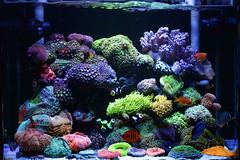 My Reef Tank (1st, Mar, 2015) (世良 隆之介) Tags: fish coral aquarium marin reef saltwater