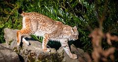 Tierpark Olderdissen (Delbrckerin) Tags: nature animals deutschland tiere nikon natur owl nrw tierpark bielefeld olderdissen d90
