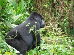 Silver Back Gorilla Uganda