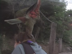 Attack of the Kea Parrot