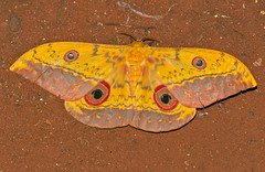 Cat's Eye Emperor (Aurivillius fuscus) (berniedup) Tags: southafrica kruger crocodilebridge saturniidae taxonomy:binomial=aurivilliusfuscus catseyeemperor aurivilliusfuscus