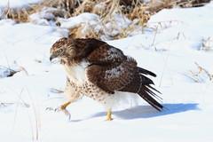 IMG_4834-1 Red-tailed Hawk (John Pohl2011) Tags: bird canon john raptor 100400mm birdofprey pohl perching t4i 100400mmlens canont4i