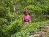 20150224-_1130092.jpg (IanRolo) Tags: srilanka forestedge teapicking ranjurawa