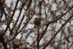 Blossom & white eye.. (Shubhashish Chakrabarty) Tags: japan blossom sigma yokohama 自然 横浜 plumblossom whiteeye 梅 mejiro 春 めじろ hodogayapark 保土ヶ谷公園