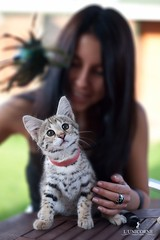 F1  L'UNICORNE (Ulyana Lunicorne) Tags: pet cats pets hot cute love beautiful cat kitten kitty exotic meow savannah luxury exclusive pur     cattery       catmoments  catmoment  lunicorne