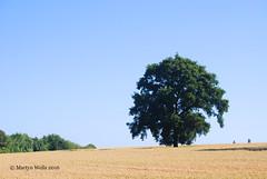 Week 29-2016 (mpw1421) Tags: summer tree outdoors landscapes oak nikon farm farming crop crops oaktree landcape d60 wk2952 522016edition 522016