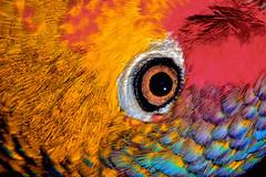 Red Lored Amazon (donjuanmon) Tags: altered colors sliders slidersunday hss donjuanmon bird redloredamazon eye macro closeup lid lash feathers black orange blue white red magenta purple green circle round