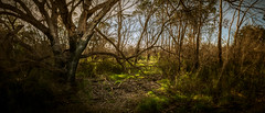 Breaking Of The Bush (tommy kuo) Tags: bush trees tree nature landscape forest melbourne victoria australia mornington morningtonpeninsula hastings warringine park warringinepark bittern panorama panoramic sunlight light outdoor bushland wood root roots shrub sticks branch branches samsung nx1 18mm travel country mirrorless