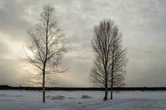 48-Kukkolankoski-04 copy (Beverly Houwing) Tags: sunset silhouette suomi finland frozen lapland kukkola birchtree tornioriver
